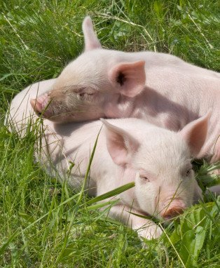 Two piglets blissed out on a sunny day in a green field. Animals experience joy just like we do. Photo © iStock Tsekhmister.