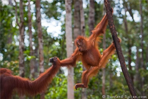 Do you care about orangutans? Please go vegan. Photo © Burrard-Lucas.com.
