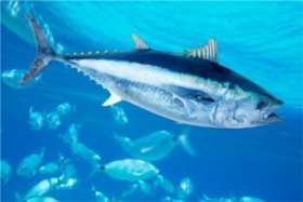 If you decide to give up 'red meat' for tuna you will be killing more than 112 other living beings. Photo of endangered Bluefin Tuna © 123RF TONO BALAGUER.
