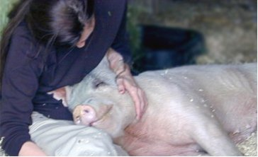 Pigs: intelligent, curious, affectionate, opiniated, but most importantly, they are alive and experience joy and pleasure. Here Joanna Lucas relaxes with rescued Celeste. Photo © Peaceful Prairie Sanctuary