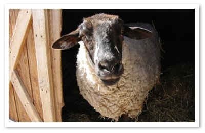 Marcie, the sheep was rescued and able to enjoy her life for the first time in Nature and make friends. Photo © Peaceful Prairie Sanctuary.