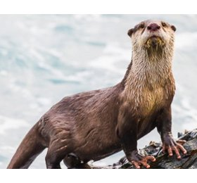 NL ORCA-MPA-petition-otter2
