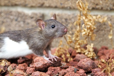 Even smaller animals like rats and mice value their lives and experience joy and pain. They are not test subjects. Photo © Dreamstime Tamara Baue.