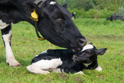 Loving mother cow licking her newborn calf in their last precious moments together. Please go vegan to stop the slaughter of calves and exploitation of their mothers. Photo © iStock HermanWieten.