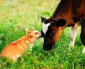 How can it be right to kill a calf, but not a dog? They are both sentient beings and they both deserve to live. Photo © 123RF Maximilian Pogonii.