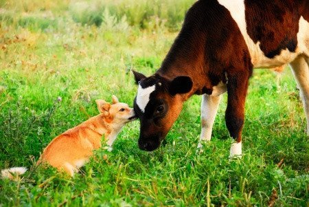 Dogs and calves recognise each other's sentience. Why can't we? Photo © 123RF Maximilian Pogonii.
