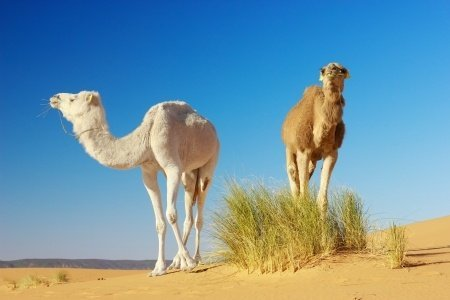 Camels are gentle giants with their own strong willed personalities. We have no right to enslave and kill them. Photo © 123RF jahmaica.