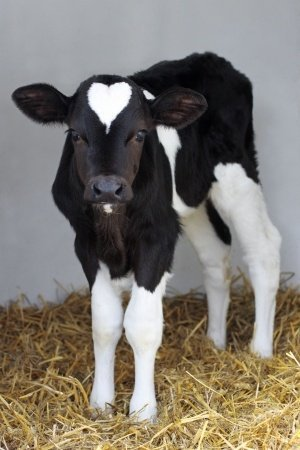 This beautiful dairy calf was taken away from her mother. You can save dairy calves by bing vegan. Photo © 123RF Melissa Schalke.