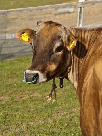 This cow may appear 'free-range', however she has all the trappings of confinement with a nose ring to be tied up, a halter to be confined and ear tags to identify her for slaughter. If she could ask for anything, the bet is she wouldn't ask for more room to die. Photo © Dreamstime Andrew Haddon.