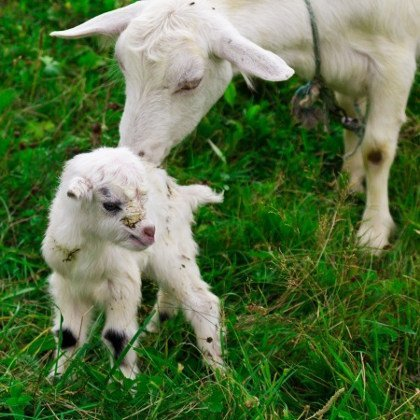 A mother goat and and her newborn kid. Photo © 123RF Olena Afanasova.