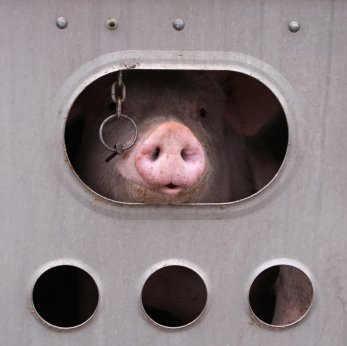 This pig is on a truck headed for slaughter. Have you ever seen the look of such betrayal? Please go vegan. Photo © iStock Ben185.