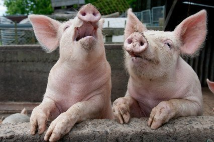 If pigs could talk, they wouldn't beat about the bush, they would ask people to be vegan. Photo © iStock janecat.