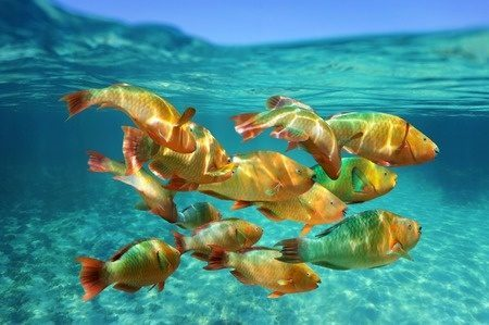School of tropical rainbow parrotfish in Caribbean. Fish belong in the sea, not on our plates. Photo © 123RF vilainecrevette