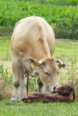 white cow cleaning new born calf 3263380_s 123RF M.G. Mooij